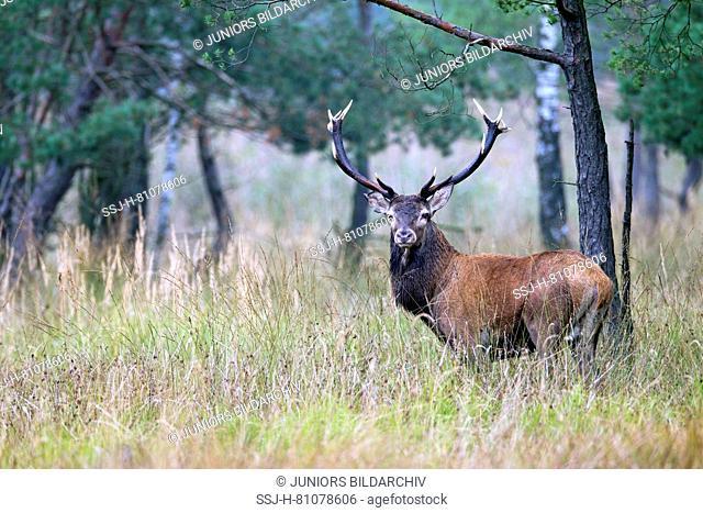 Red Deer (Cervus elaphus). Stag standing in a swamp. Saxony, Germany