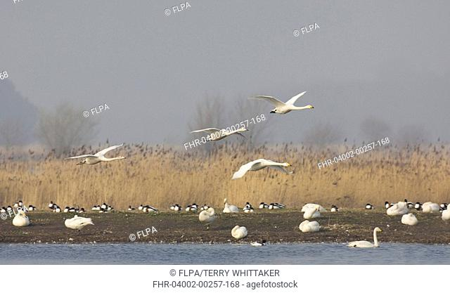 Whooper Swan Cygnus cygnus two adults with two juveniles, in flight over roosting swans and shelduck, Martin Mere, Lancashire, England