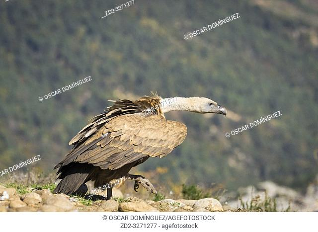 Griffon Vulture (Gyps fulvus) walking. Lleida province. Catalonia. Spain