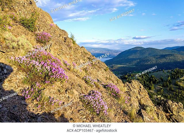 Penstemon spp, Giants Head Mountain Park, Summerland, Okanagan Valley, British Columbia, Canada