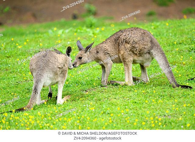 Two Eastern grey kangaroos (Macropus gianteus) kissing on a meadow
