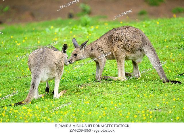 Two Eastern grey kangaroos (Macropus gianteus) kissing on a meadow