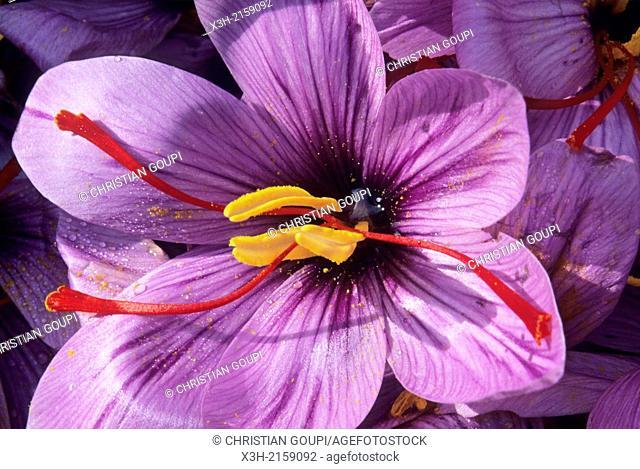 saffron flowers crocus sativus, Loiret department, region of Centre, France, Europe
