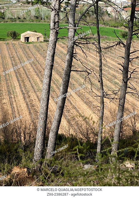 Vineyard before new leaves begin to grow. L'Espluga de Francolí village countryside. Conca de Barberà region, Tarragona province, Catalonia, Spain