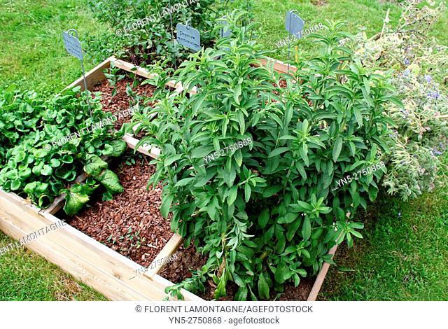 Stevia rebaudiana, naturel herb used as sugar without glucose