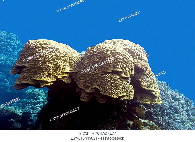 coral reef with grat porites coral at the bottom of tropical sea in on blue water background