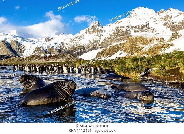 Southern elephant seal (Mirounga leonina) pups, Gold Harbour, South Georgia, South Atlantic Ocean, Polar Regions