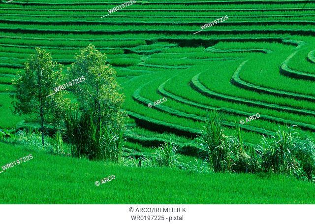 Rice, terraces, Bali, Indonesia