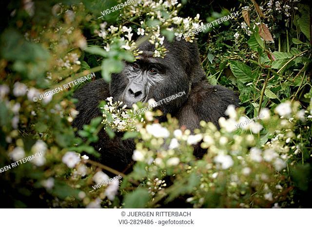 mountain gorilla (Gorilla beringei beringei), Bwindi Impenetrable National Park, Uganda, Africa - Bwindi Impenetrable National Par, UGA; Uganda, 05/01/2011
