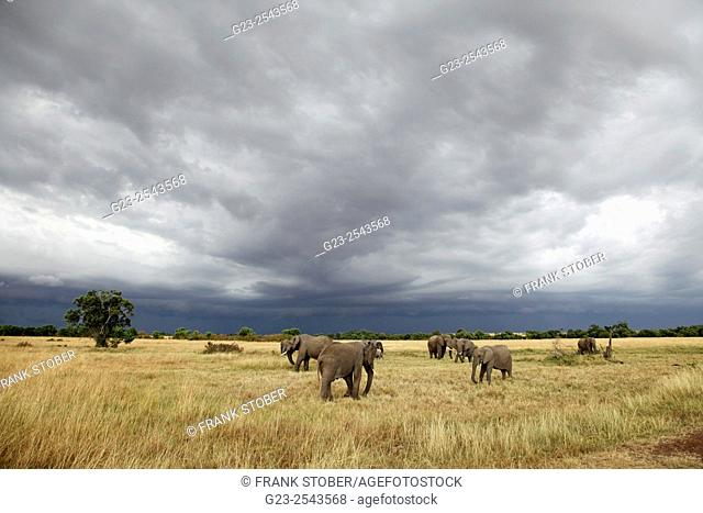 Elephant group. Maasai Mara National Reserve, Kenya