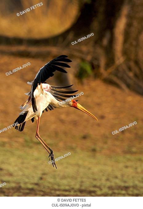 Yellow-billed stork landing on grass, Mana Pools, Zimbabwe