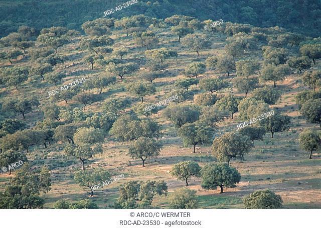 Evergreen Oaks Extremadura Spain Quercus ilex