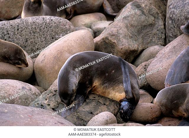 Northern Fur Seal giving Birth (Callorhinus ursinus), Pribilofs, AK