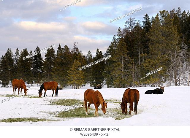 Group of quarter horses and Moose in a field at Triangle X Ranch Grand Teton National Park Wyoming