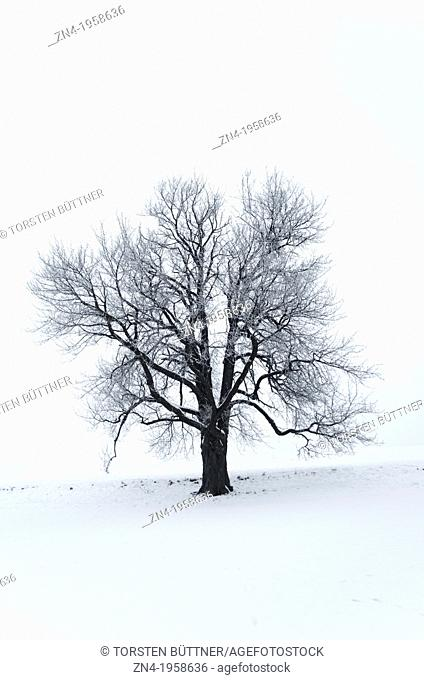 Tilia Tree on a Snow Field. Schönau. Austria