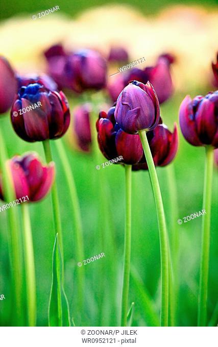 Beautiful spring tulips in garden