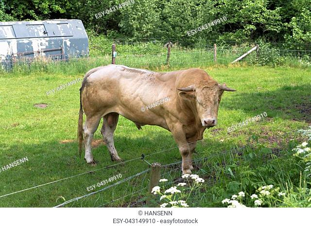 very muscular limousine bull in a dutch meadow