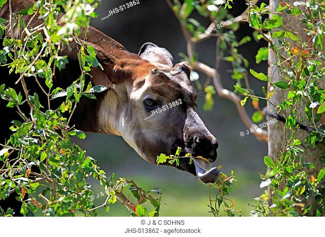 Okapi, (Okapia johnstoni), Africa, adult feeding portrait