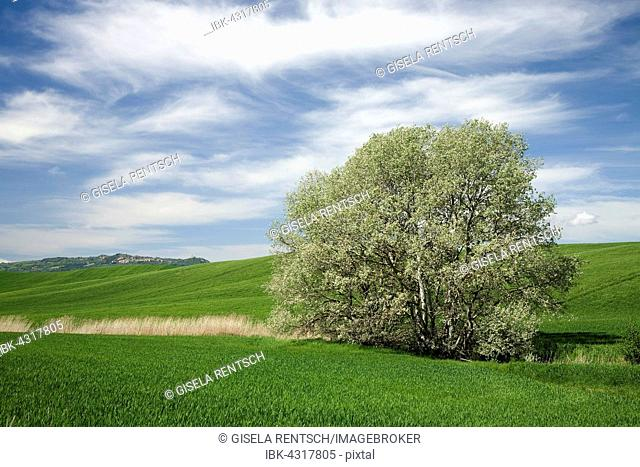 White poplar (Populus alba), Tuscany, Italy