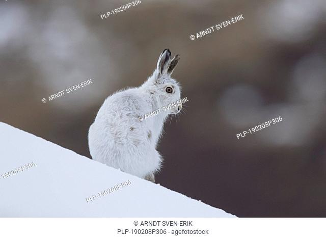 Mountain hare / Alpine hare / snow hare (Lepus timidus) in white winter pelage in the Scottish Highlands, Scotland, UK