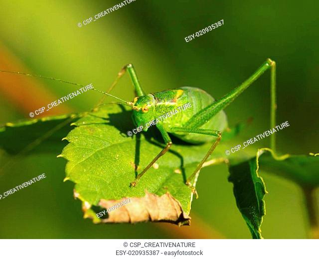 Female of a speckled bush-cricket (Leptophyes punctatissima) on a leaf