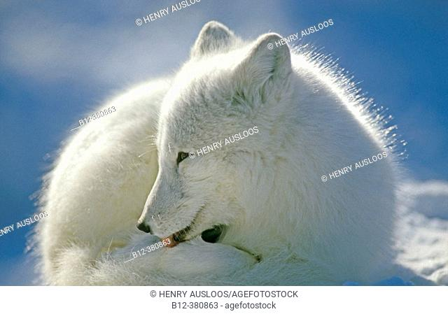 Arctic Fox (Alopex Lagopus). Open Mouth. Winter. Canada