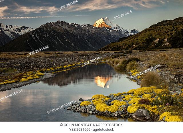 Aoraki / Mount Cook sunset reflection beside tarn lined with Myosotis species (mouse ears) , Tasman valley, Aoraki / Mount Cook National Park, Mackenzie country