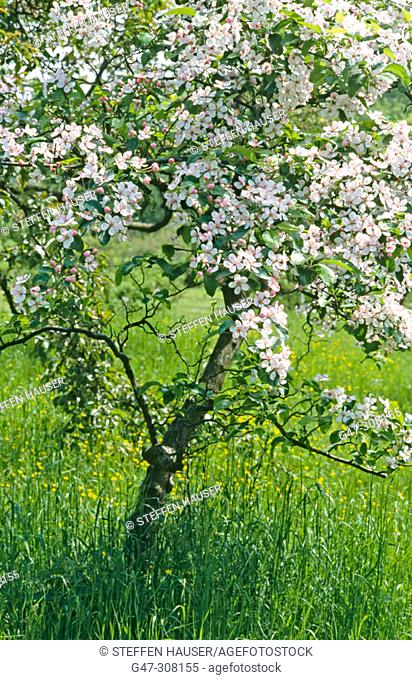 Apple (Malus platycarpa) in a tree nursery. Brandenburg. Germany