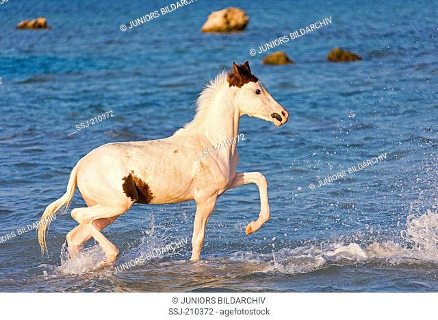 Pintabian. Filly-foal trotting in shallow water. Egypt