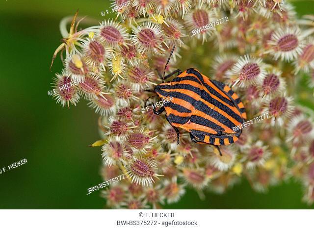 Italian Striped-Bug, Minstrel Bug (Graphosoma lineatum, Graphosoma italicum), sitting on an Apiaceae, Germany