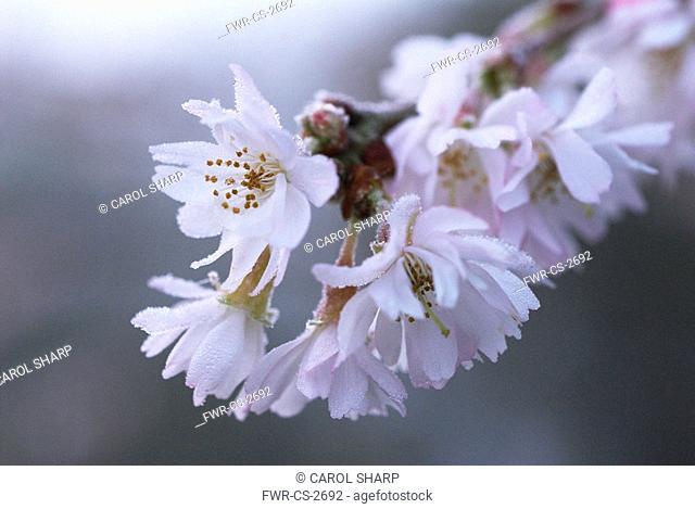 Prunus subhirtella 'Autumnalis', Cherry - Autumn flowering cherry