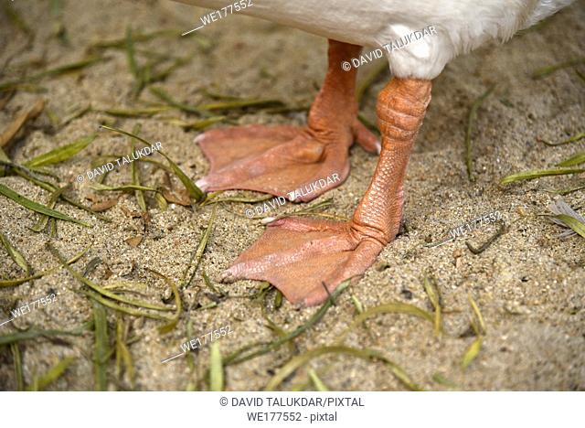 Feet of a goose