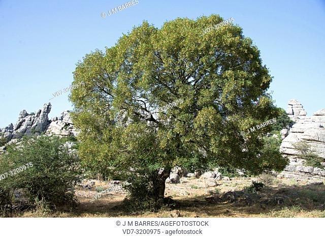 Montpellier maple (Acer monspessulanum) is a deciduous tree native to Mediterranean Basin. This photo was taken in Torcal de Antequera, Malaga province