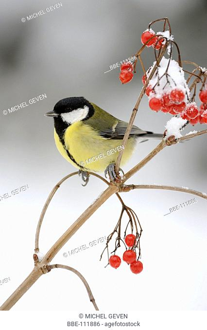 Great Tit perched between the red berries of the Guelder Rose