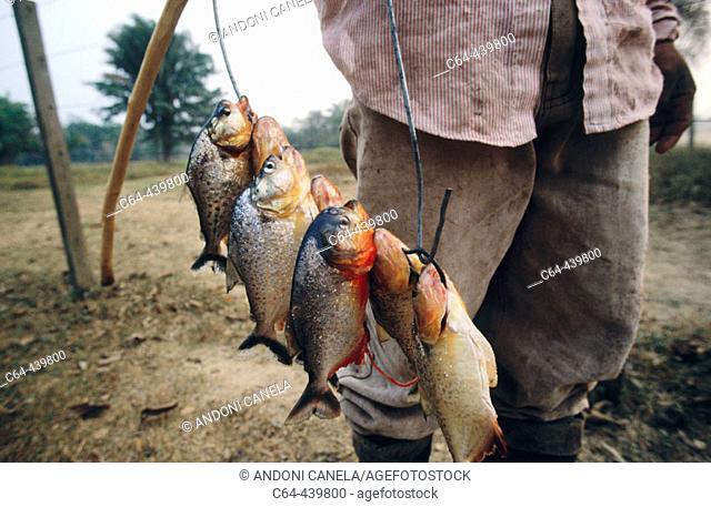Piranhas (Serrasalmus sp). Llanos de Moxos, Amazonia, Bolivia