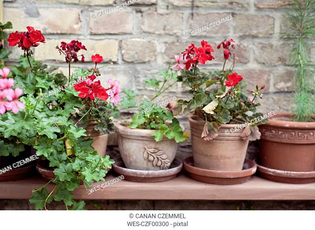 Potted Geranium flowers on a shelf in front of brick wall
