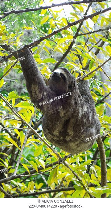 Brown-throated Three-toed Sloth (Bradypus variegatus), Venezuela