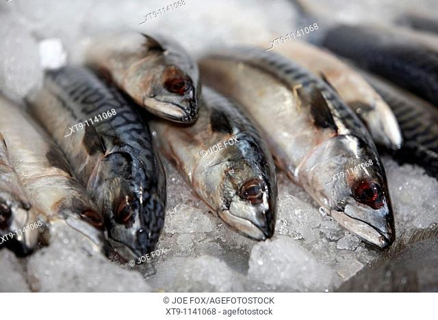 row of mackerel on a bed of ice on a fishmongers fresh fish stall at an indoor market