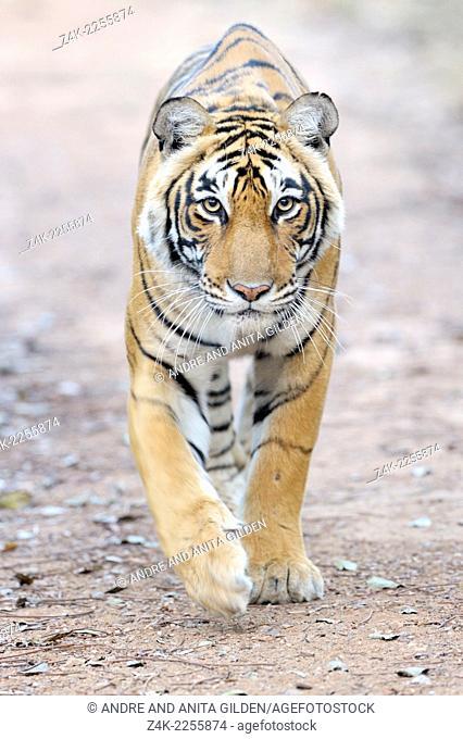 Bengal Tiger (Panthera tigris tigris) stalking on Photographer
