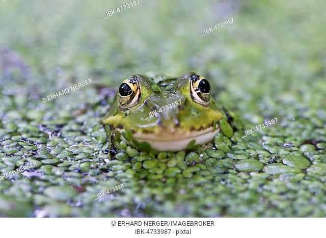 Green frog (Rana esculenta), between duckweed (Lemna minor), Lower Saxony, Germany