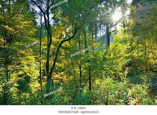 forest with sun, Germany, Rhineland-Palatinate, Boppard