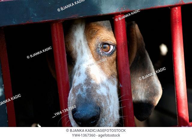 Hunting dog, near Ganges, Southern France