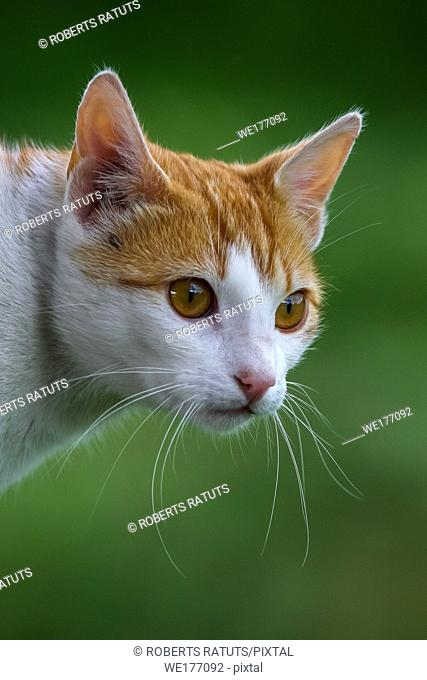 Cute red white cat portrait on nature green blurred background. Portrait of white ginger cat. Cat is small domesticated carnivorous mammal with soft fur