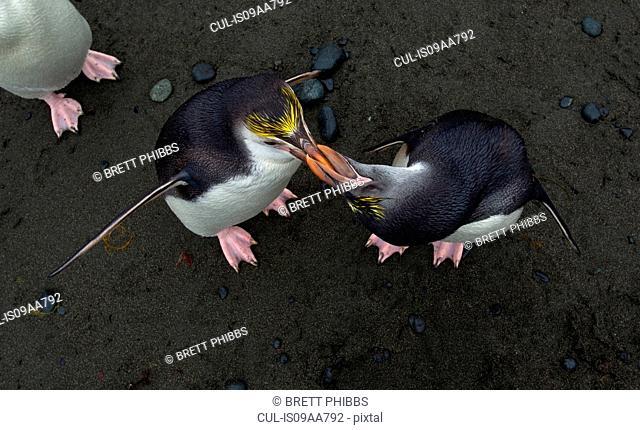 Royal Penguins, Macquarie Island, Southern Ocean