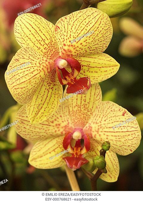 Orchid Phalaenopsis sp
