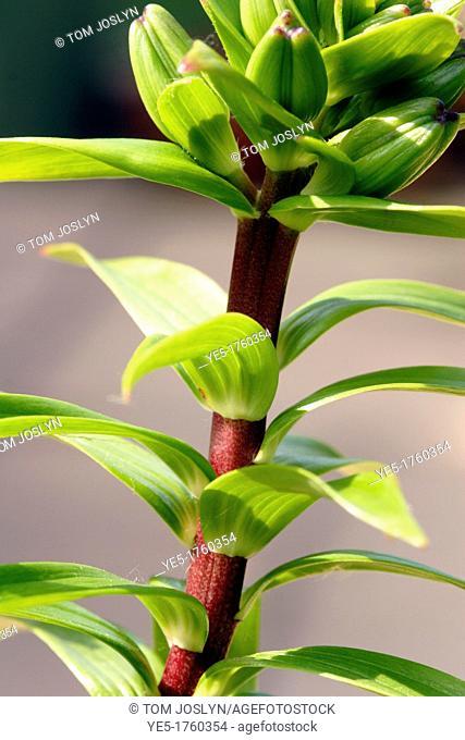 Lily leaves Lilium genus close up