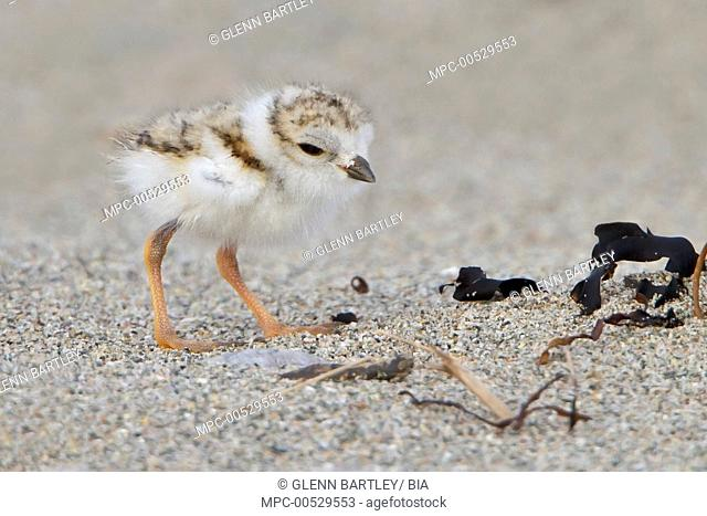 Piping Plover (Charadrius melodus) chick, Newfoundland, Canada