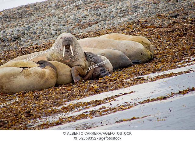 Walrus, Odobenus rosmarus, Arctic, Spitsbergen, Svalbard, Norway, Europe