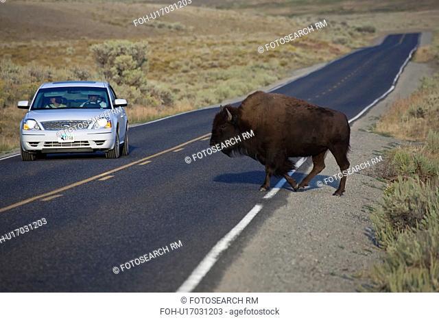 american bison national park hayden valley haven