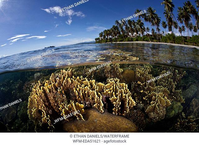 Fire Corals growing near Beach, Millepora sp., Florida Islands, Solomon Islands